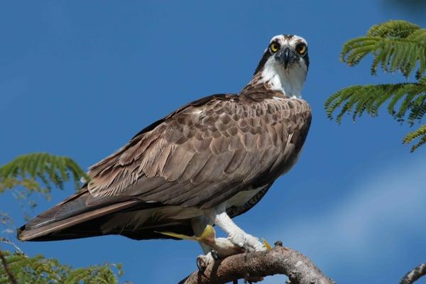 Osprey on Marco Island piqsels.com-id-oathx