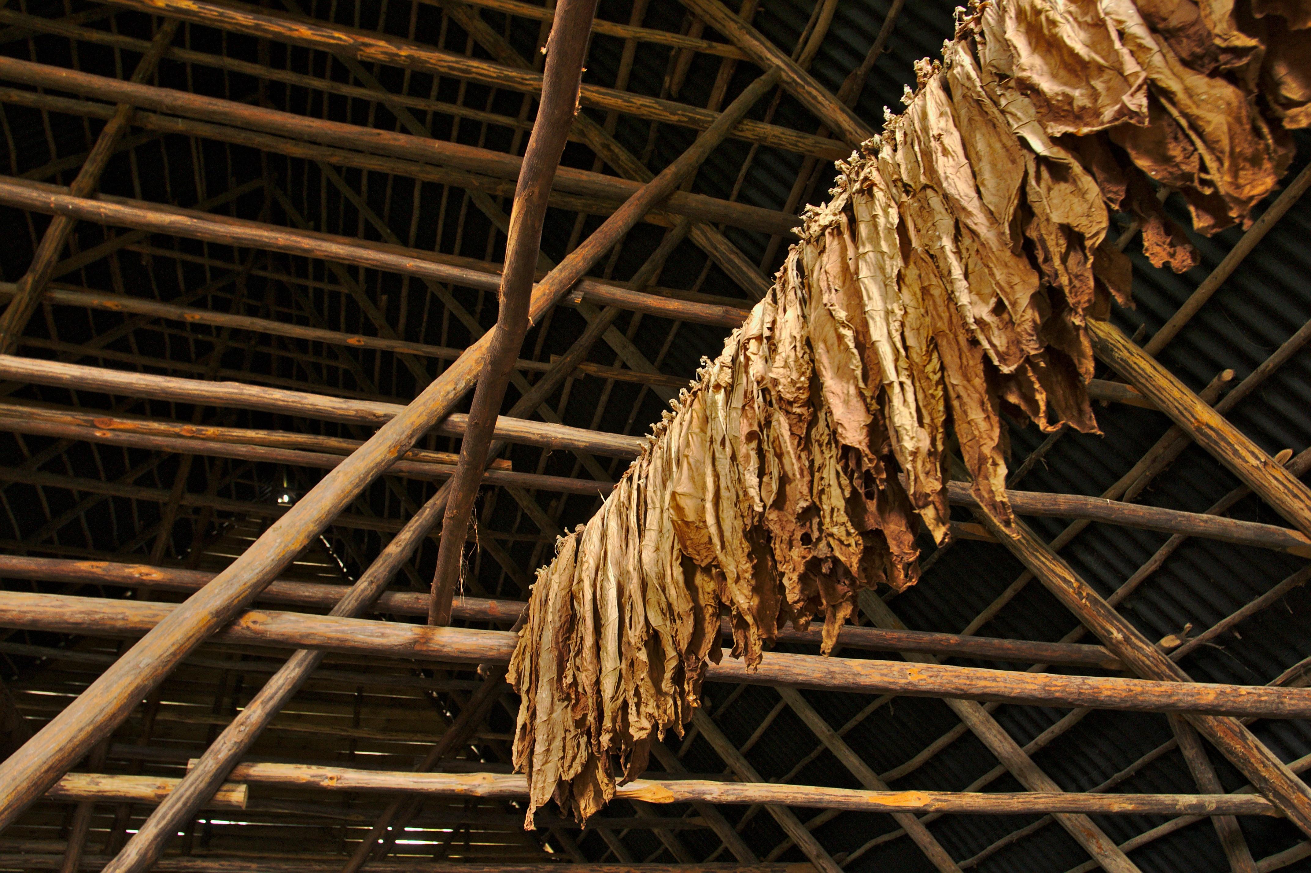 Tobacco_Air_Curing_Cuba2.jpg