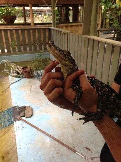 everglades_alligator.jpg