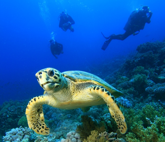 Sea Turtle on reef, with divers.